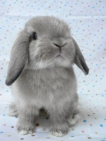 The example of rabbit breeds : Holland Lop