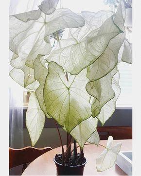 moonlight caladium 🌙 adding this beauty to my plant wish list • • • • • • • #earthinspiredhome #showmeyourboho #myhyggehome #inmydomaine… #indoorgarden