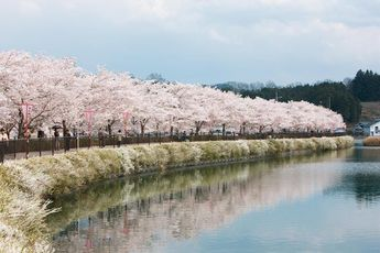 Cherry blossom season usually starts in late March in Tokyo. However, the cherry blossoms g in bloom at different times depending on the region. Here is the cherry blossom forecast for 2019, based on latest regional blossom forecasts!