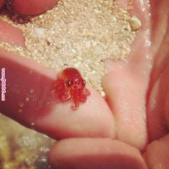 Sometimes a girl just needs to see photos of tiny octopuses …