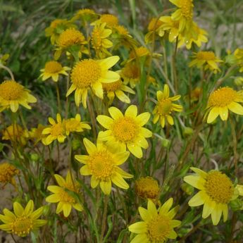 Goldfields - Asteraceae Common name:…