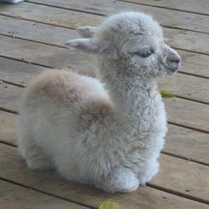 Reddit could use more baby llamas