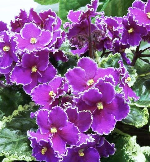 African Violet/ OptimaraFRIENDSHIP/well rooted by TakeAcompliment