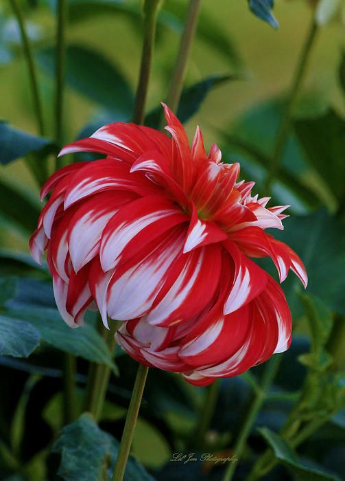 Profile Of Not Santa - Dahlia - Available in canvas print, framed print, art print, acrylic print, metal print, greeting card, iPhone case and Galaxy case