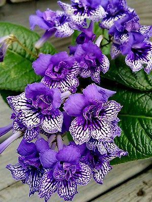 Streptocarpus-Blue-Frills-live-house-plant-cape-primrose-african-violet