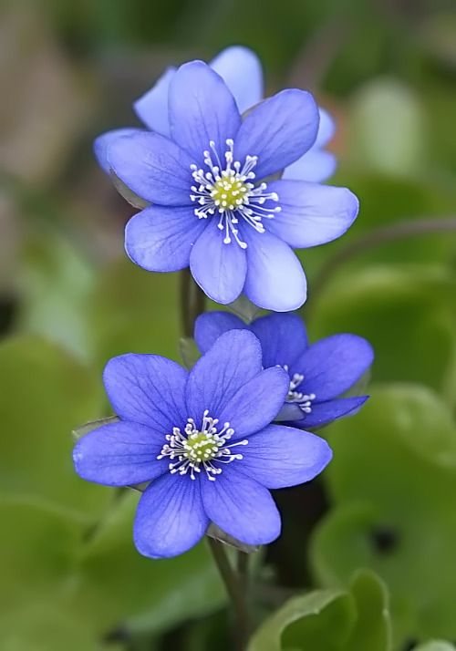 cuiledhwenofthegreenforest:   Hepatica nobilis by... - Chronicles of a Love Affair with Nature