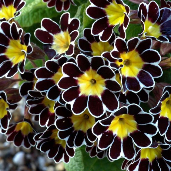 and ........Polyanthus and I could go on forever.  I guess I have no FAVES in flowers or colors. They are all unique and outstanding. #Exoticflowers