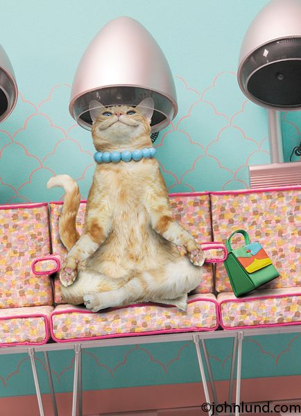 A cat sits happily under a hair dryer in a beauty salon in this one of a series of funny cat photos featuring Maude