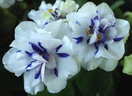 Chimera African Violets::