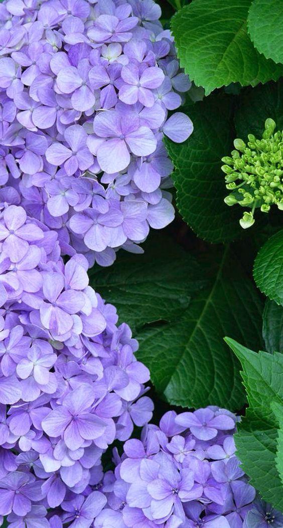 Framed ... by a delightfully, delicate, lavendar Hydrangea. So yummy! - EHH