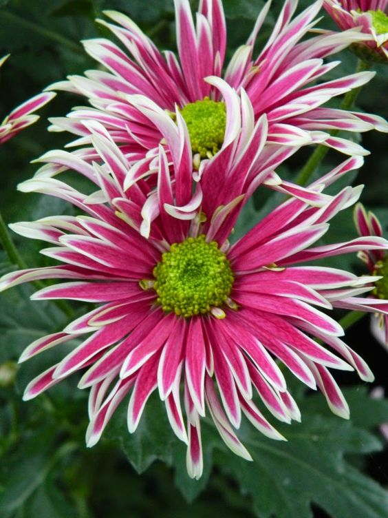 Allan Gardens Conservatory Fall Chrysanthemum Show 2014 white margin purple mum by garden muses-not another Toronto gardening blog