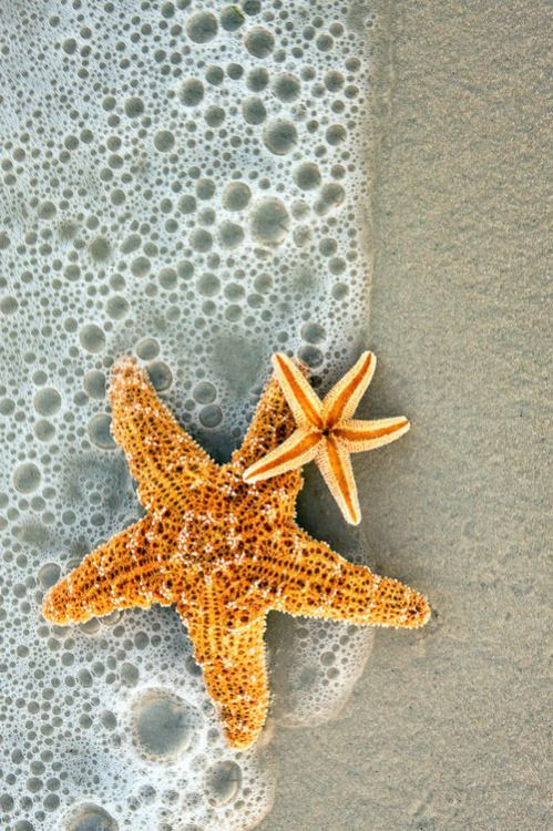 Starfish in the surf. Siesta Key, Florida