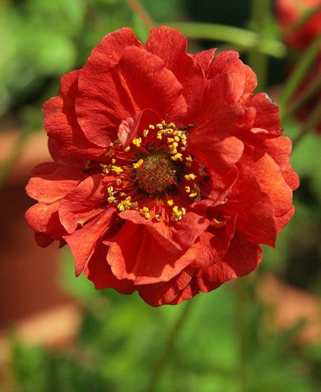 Nejlikrot Blazing Sunset 1 st: (Geum) En gammal trädgårdsväxt med lysande röda, vackra blommor. Trivs i ett soligt läge med lätt och väldränerad jord. Blommar länge, från juni till oktober. Kan odlas i hela landet, men utvecklas bäst i skyddat och väldränerat läge. Höjd ca 60 cm. 1 st.