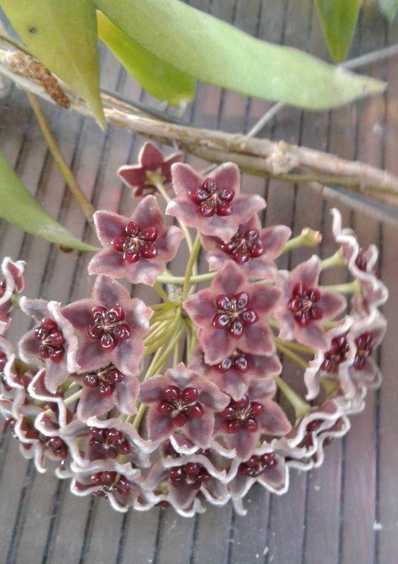 Hoya globulifera