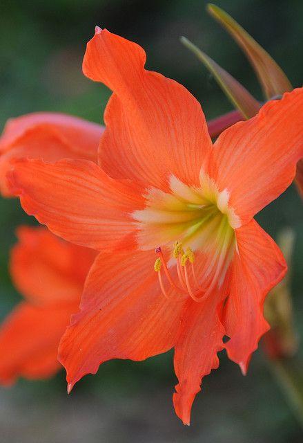 Orange lily                                                                                                                                                                                 More