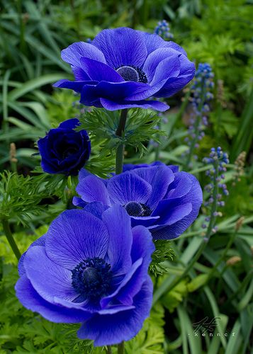 -Feel the blues | Anemone Location: Longwood Gardens Visit m… | Flickr