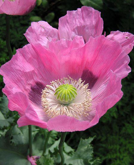 Annie's Annuals pink cupcake poppy