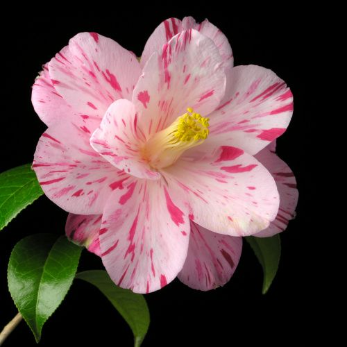 Camellia japonica 'Haru-no-utena' (Japan, 1841)