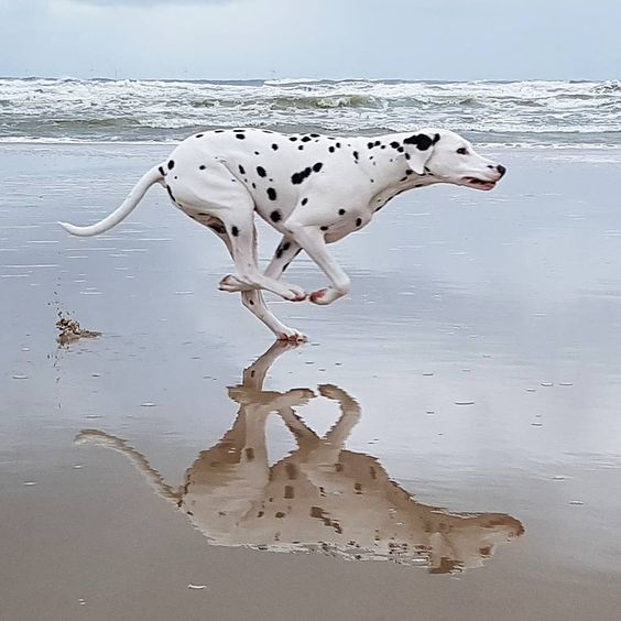 Dalmation running by the beach