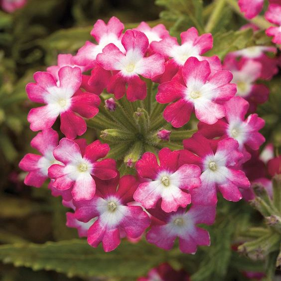 Verbena Obsession Twister Red