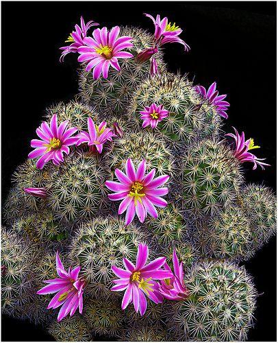 CAC351 | Mammillaria blossfeldiana | Richard Reynolds | Flickr