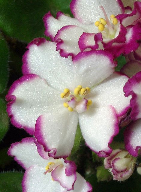 African Violet by Picture Zealot