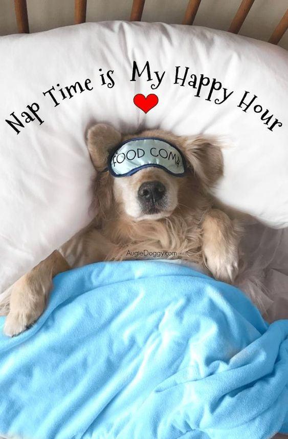 Golden retriever Tiberius enjoying his weekend! #quote #goldenretriever