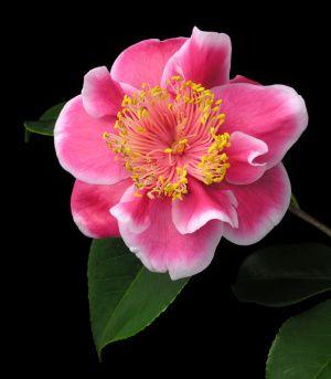 Camellia Tama Peacock | Camellia japonica 'Kurotsubaki'