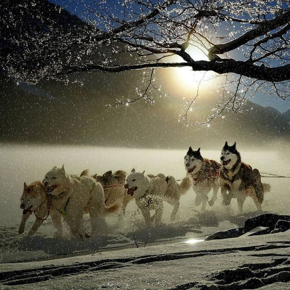 Siberian Husky sled dog pack