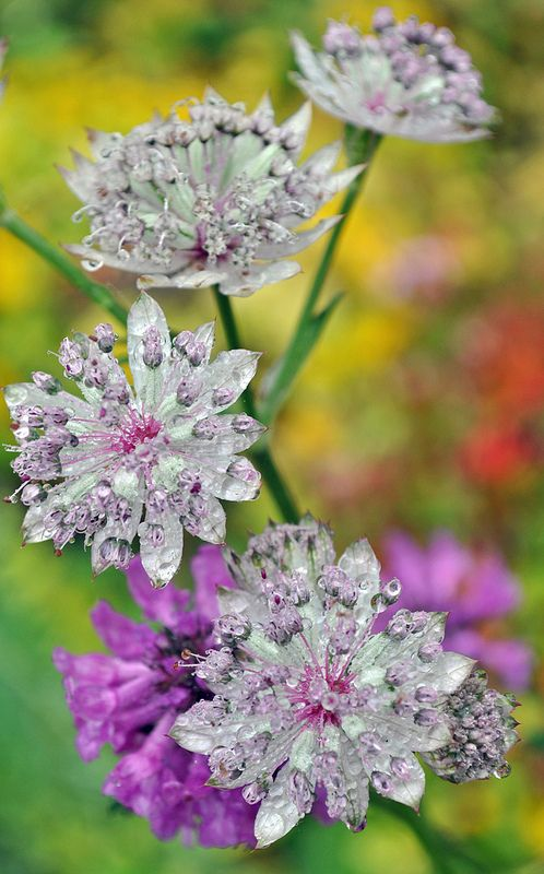 Astrantia, the white spiky flower on long stems, is so pretty and after the rain shower was holding tiny beads of water in a lovely way.