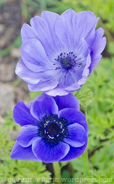 Aus meinem Garten – Blaue Anemonen