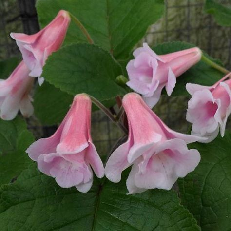 Calyx Double Sinningia #sinningia #gesneriads #gesneriad #苦苣苔 #岩桐屬 #岩桐 #熱帯植物 #houseplants #gesneriaceae