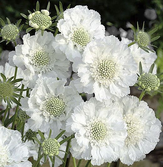 Scabiosa caucasica 'Miss Willmott' ♥♥♥ re pinned by <a href=