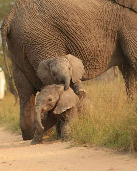 These beautiful twin elephants will be lucky to grow up let alone reach maturity such is the killing of them by humans for their ivory and they don't care if the mother has babies that will die, in 20 years they will most likely be extinct in the wild.