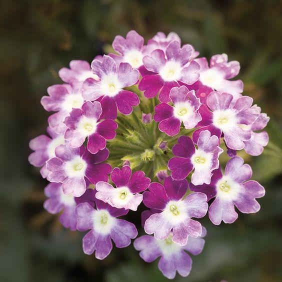 Obsession Cascade Twister Violet trailing verbena seeds