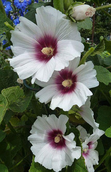 Alcea 'Halo Blossom' Hollyhock. Zones 3-10. Perennial. Sun. 5-8' Avg-Low water. Spring-Fall