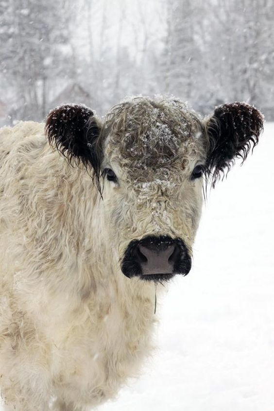 White Cow in the Snow Animal Photography French Country