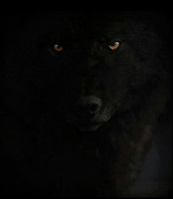 ♥Beautiful Black Wolf♥