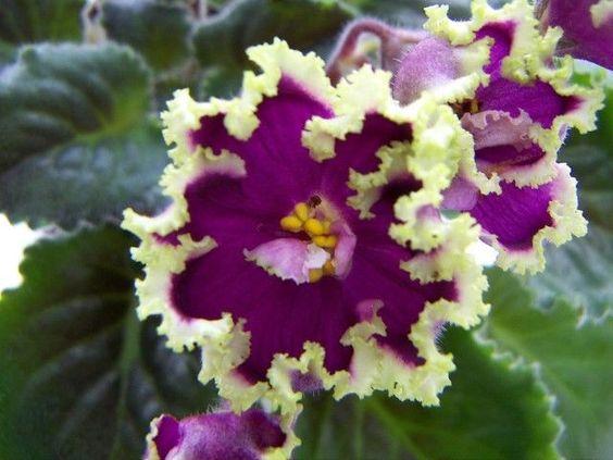 African Violet LE-Esmeralda Russian/Ukrainian variety plant