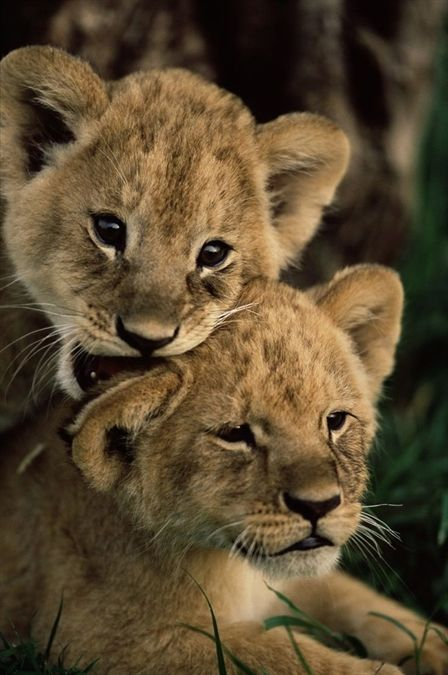 Powerful big cat family #lion #lioncub #younglion #kingofthejungle