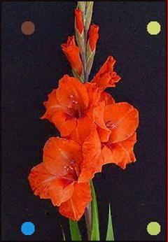 Orange Gladiolus Flower - Google Search