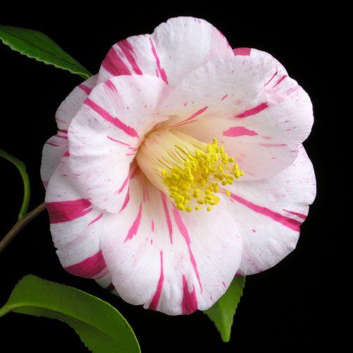 Camellia japonica 'Ehigasa' (Japan, 1968)