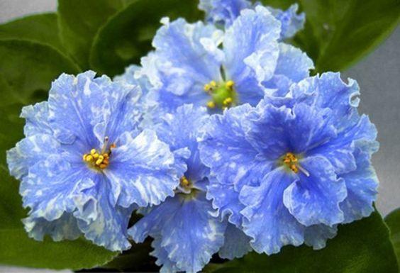 African Violet Saintpaulia '' IAN Metelitsa '' Young Plant | eBay