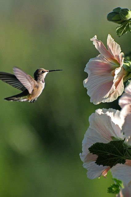 Hummingbird and Hollyhocks....had to pin because this reminds me of my little lady hummingbird that visits me every morning and every evening while I lounge on my porch swing...her nest is right outside of my door!