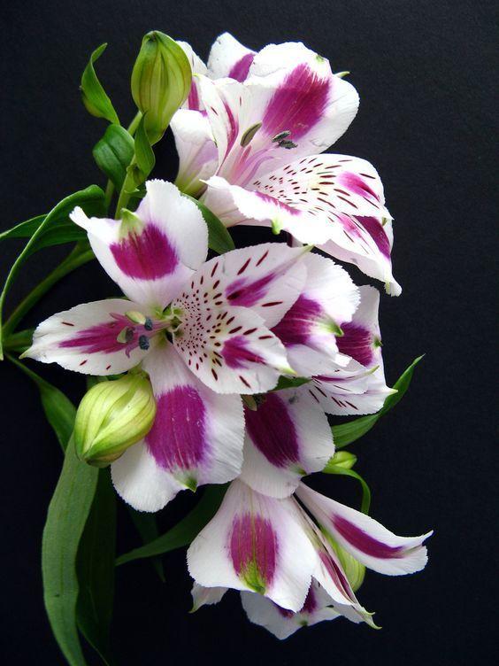 [Blog Cómo Decorar] LA FLOR DEL MES DE FEBRERO: ALSTROEMERIA ¡Descúbrela! #FloralInspiration #Flores #Inspiración #Flordelmes #Alstroemeria #Decoración #Hogar #Decorarconflores