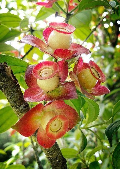 Strange flowers by laratada.... Melastomataceae Blakea gracilis... Unusual and Beautiful!