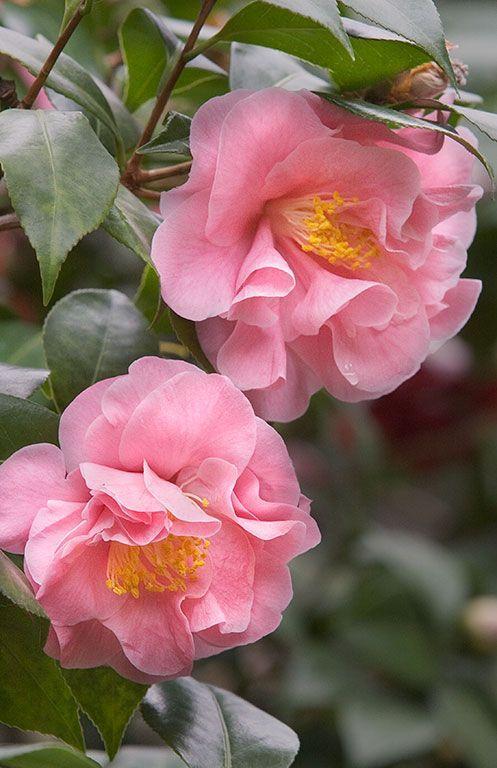 Pink Camellia ~ Beautiful