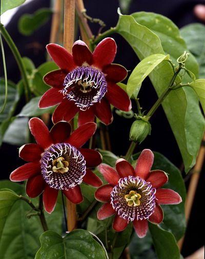 Rote Passionsblume (Passiflora)