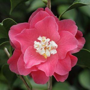 Camellia japonica 'Hishikaraito' (Japan, 1844)