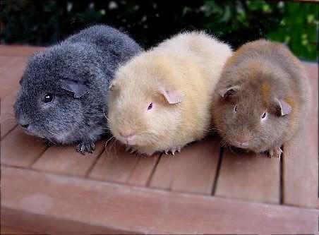 Teddy Guinea Pig breeds